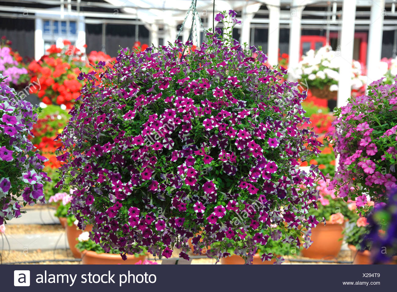 garden petunia (Petunia 'Purple Star', Petunia Purple Star), Cultivar Purple Star, blooming - Stock Image