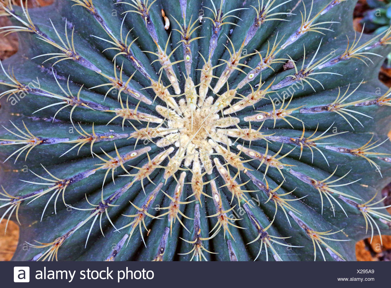Xerophyt stock photos xerophyt stock images alamy for Feroxcactus chile