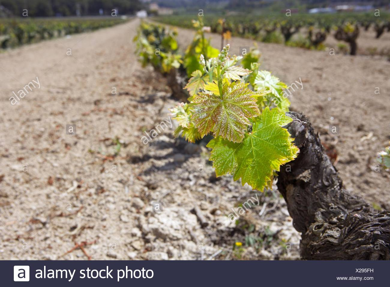 vineyard first spring sprouts in row field in Spain Stock Photo