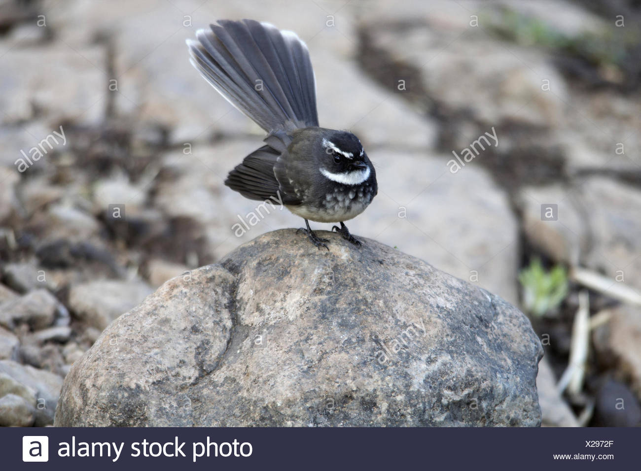 The white-throated fantail (Rhipidura albicollis) is a small passerine bird. - Stock Image