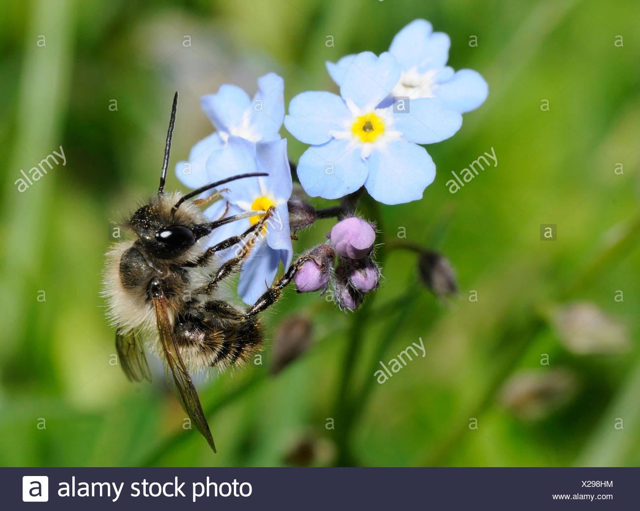 Red Mason Bee on Myosotis flowers - Northern Vosges France Stock Photo