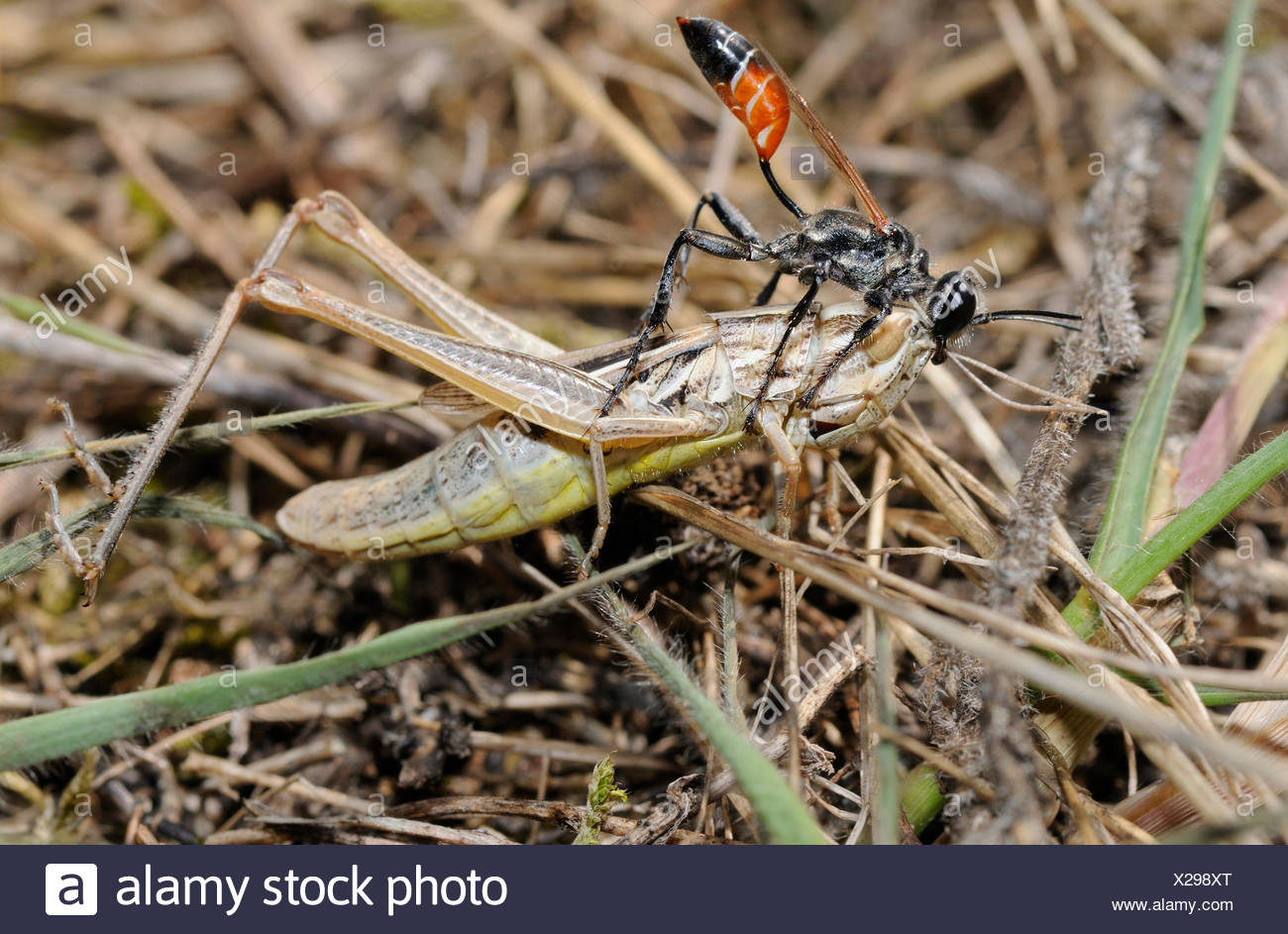 Prionyx capturing a grasshopper and pulling her gallery - Stock Image