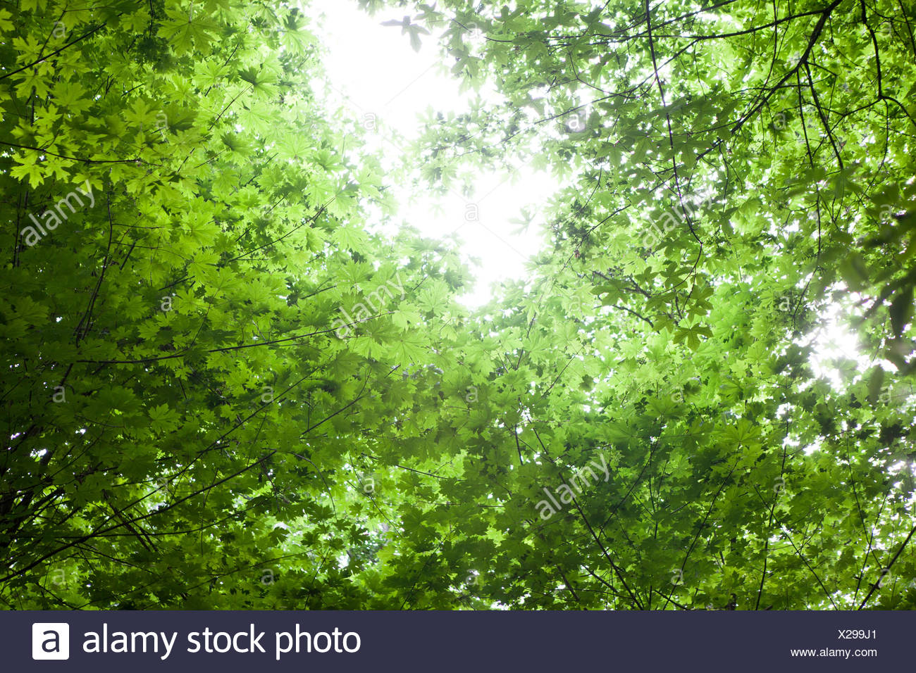Sun shining through canopy of trees - Stock Image