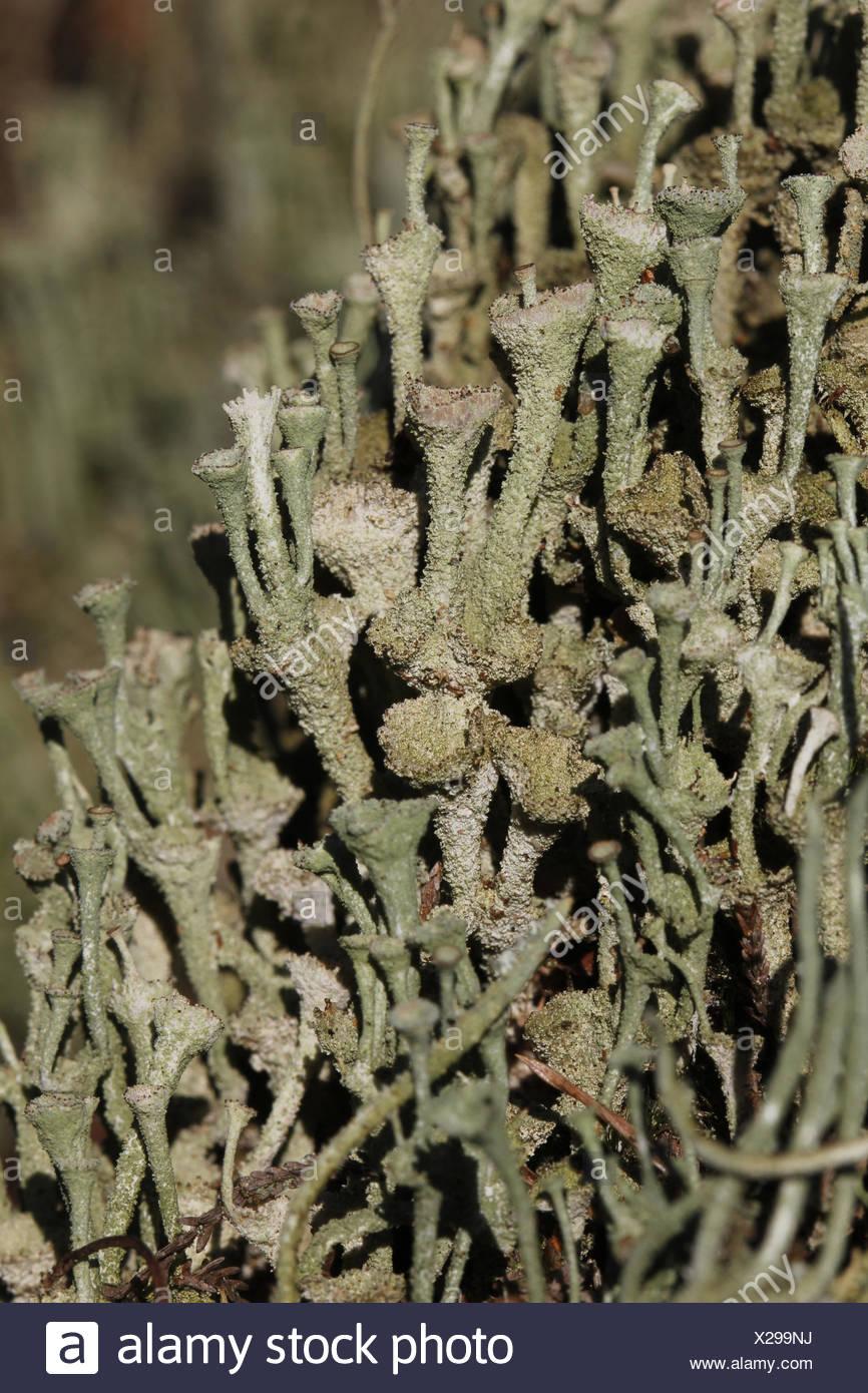 Gray's cup lichen - Stock Image