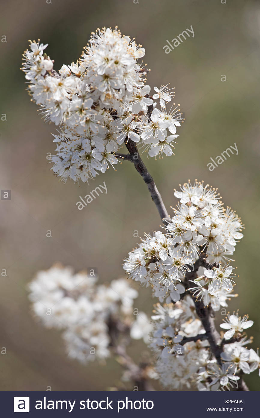 blossoms spring shrub - Stock Image