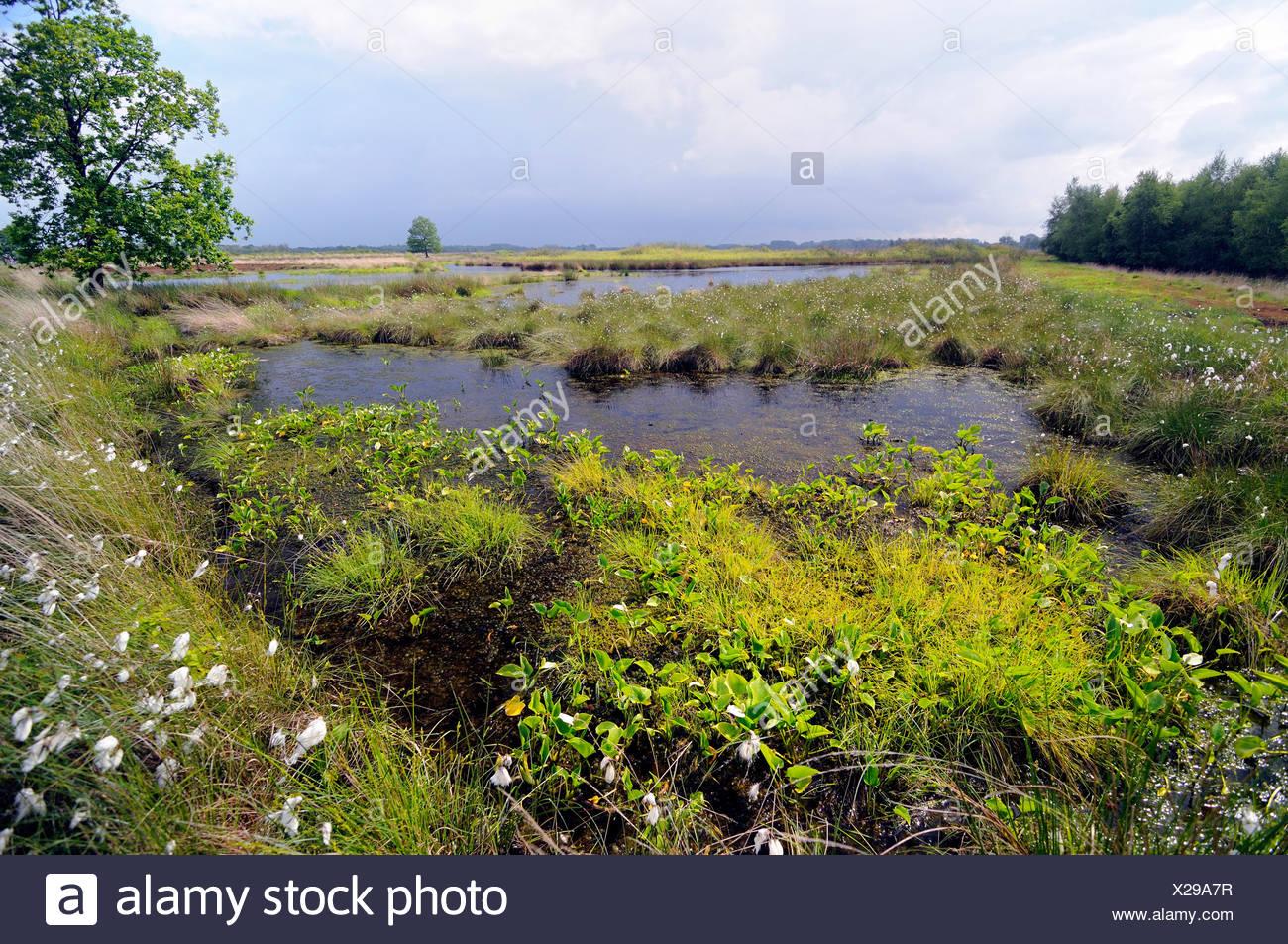 bog arum, wild calla (Calla palustris), blooming at mire border, Germany, Lower Saxony, Grosses Torfmoor Stock Photo