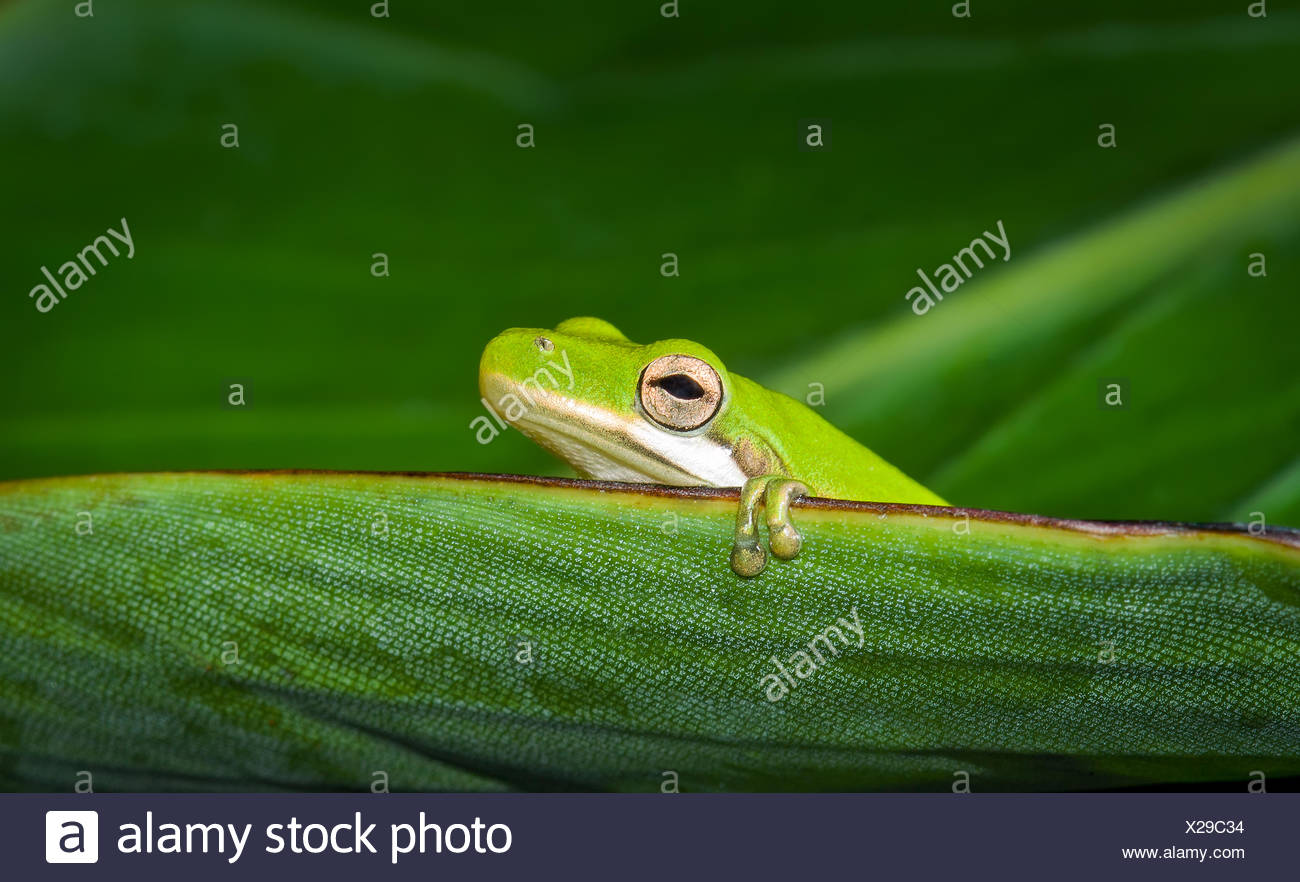 American green tree frog (Hyla cinerea) sitting on leaf, Florida, America, USA - Stock Image