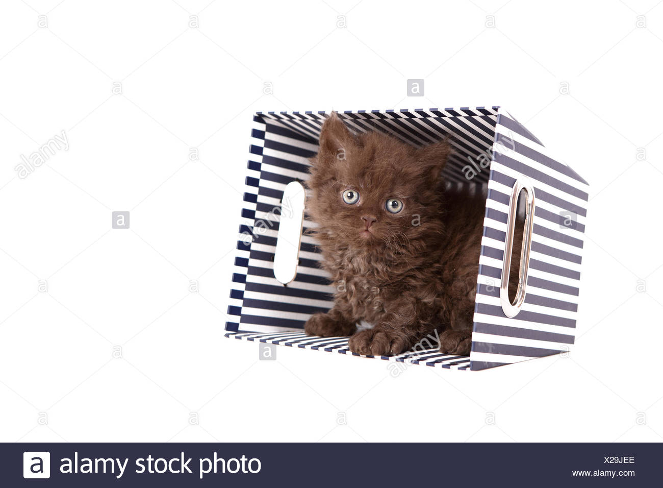 Selkirk Rex. Kitten (6 weeks old) sitting in cardboard box. Studio picture against a white background. Germany - Stock Image
