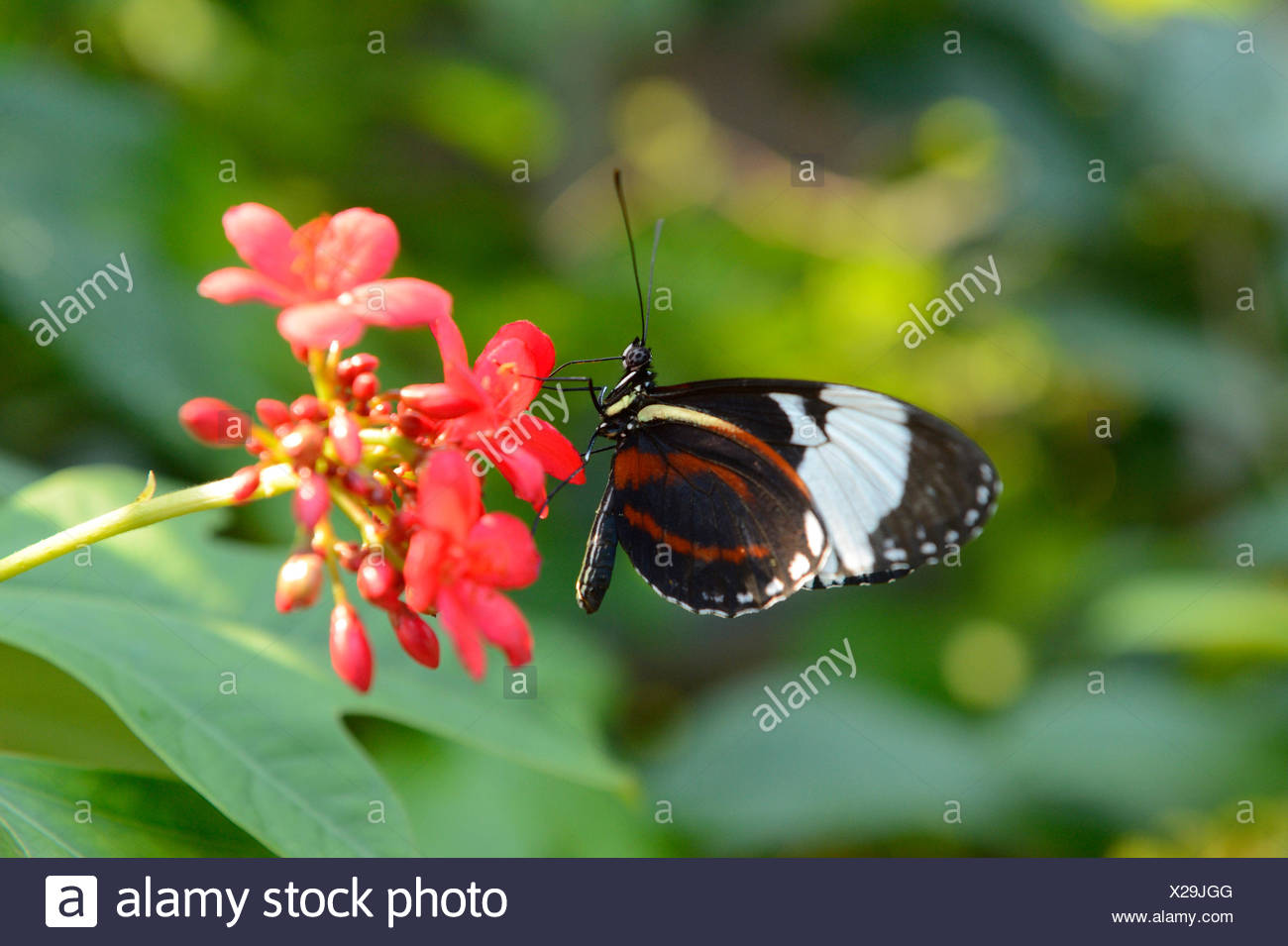 Cydno Longwing  (Heliconius cydno), sucking nectar from red flowers - Stock Image