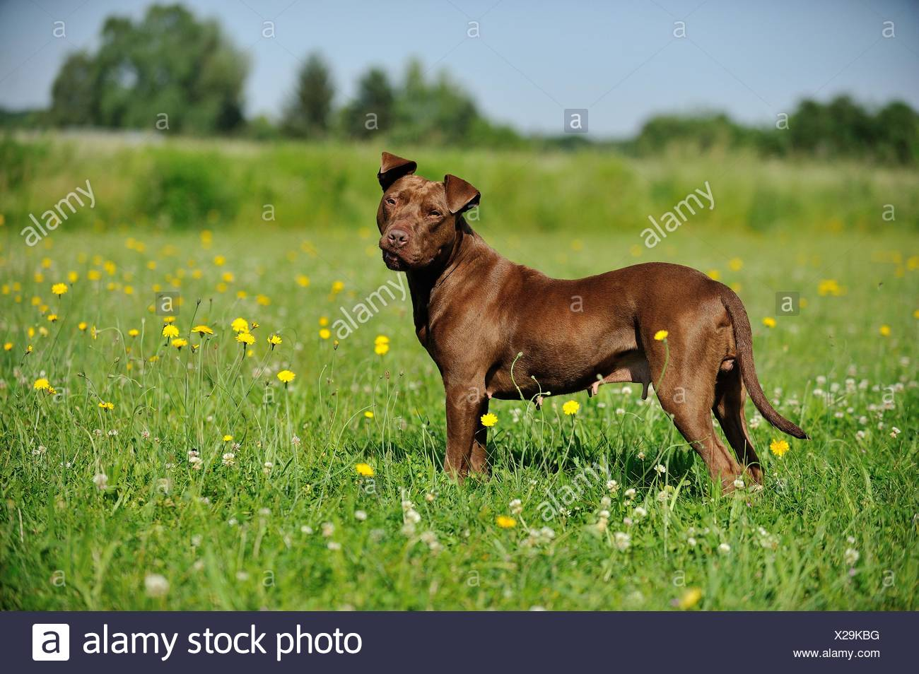 standing American Pit Bull Terrier - Stock Image