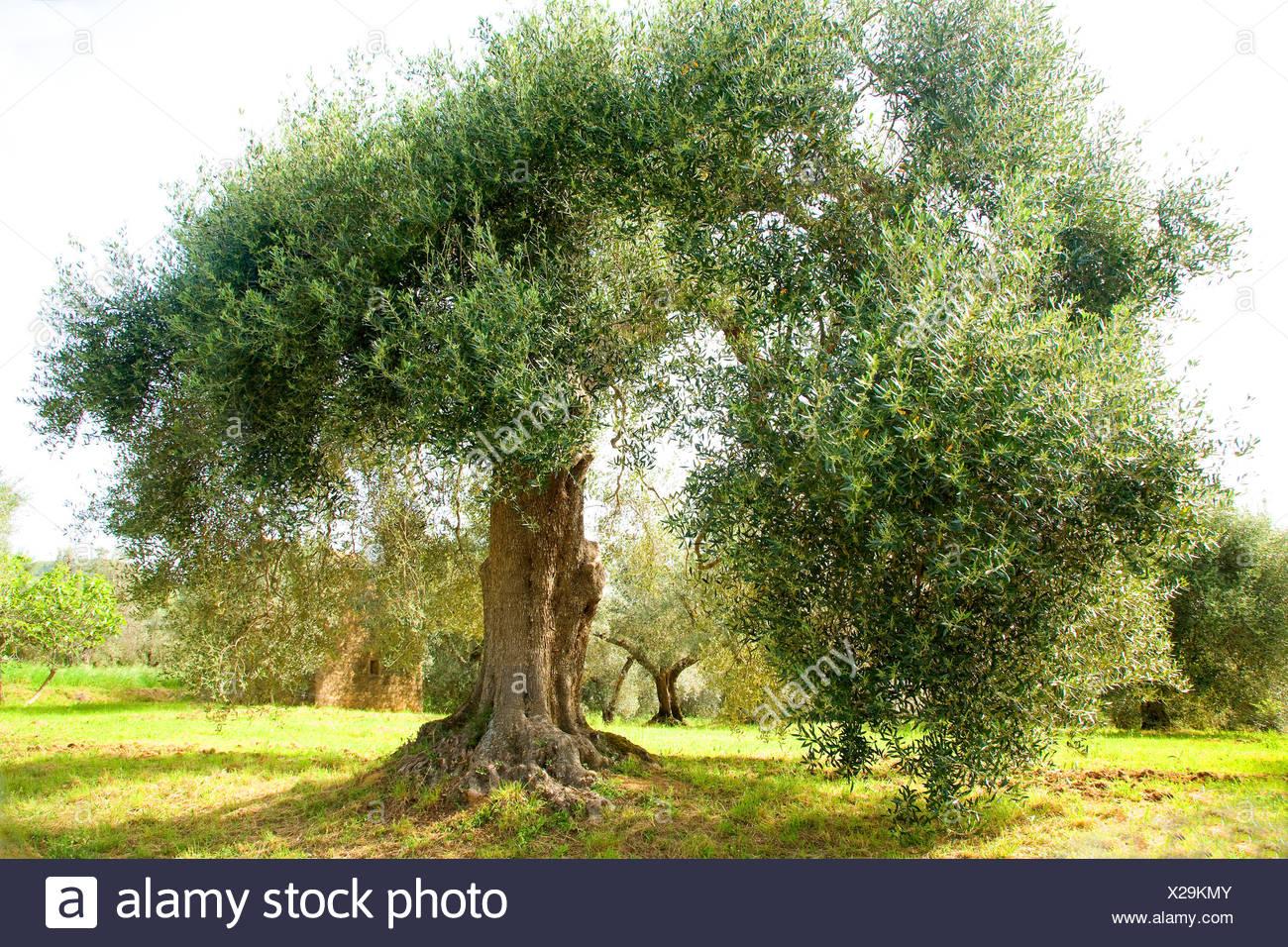 Kultur-Oelbaum, Kultur-Olivenbaum, Oelbaum, Olivenbaum (Olea europaea ssp. sativa), alter Olivenbaum in der Toskana , Italien, T Stock Photo