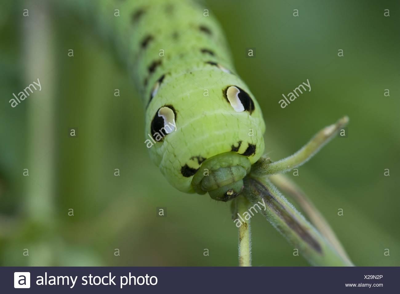 hawk-moth grub Stock Photo