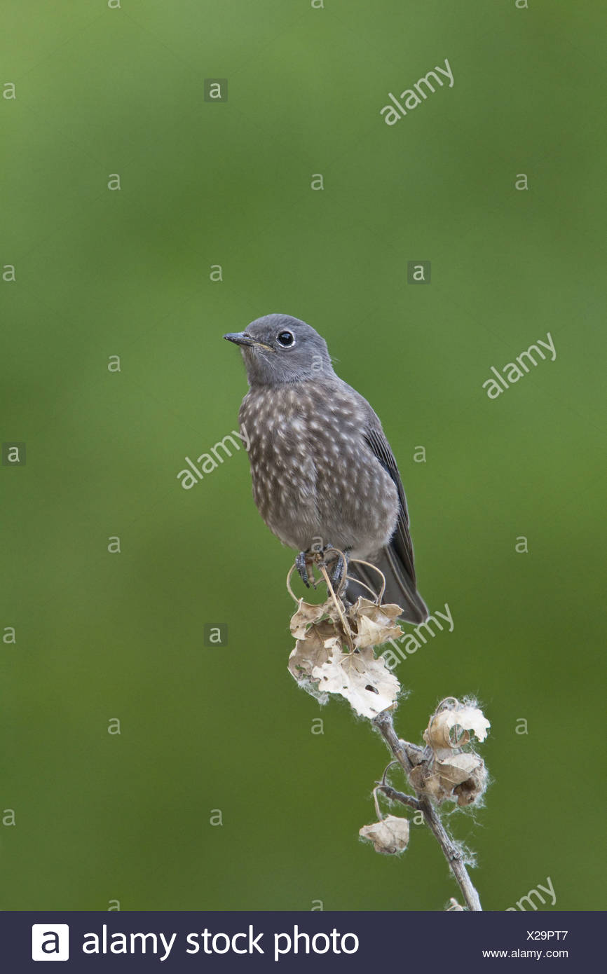 juvenile Townsend's Solitaire - Stock Image