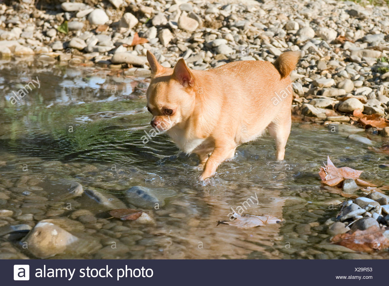 dog, thick, wide, fat, obesity, river, water, walk, go, going, walking, Stock Photo