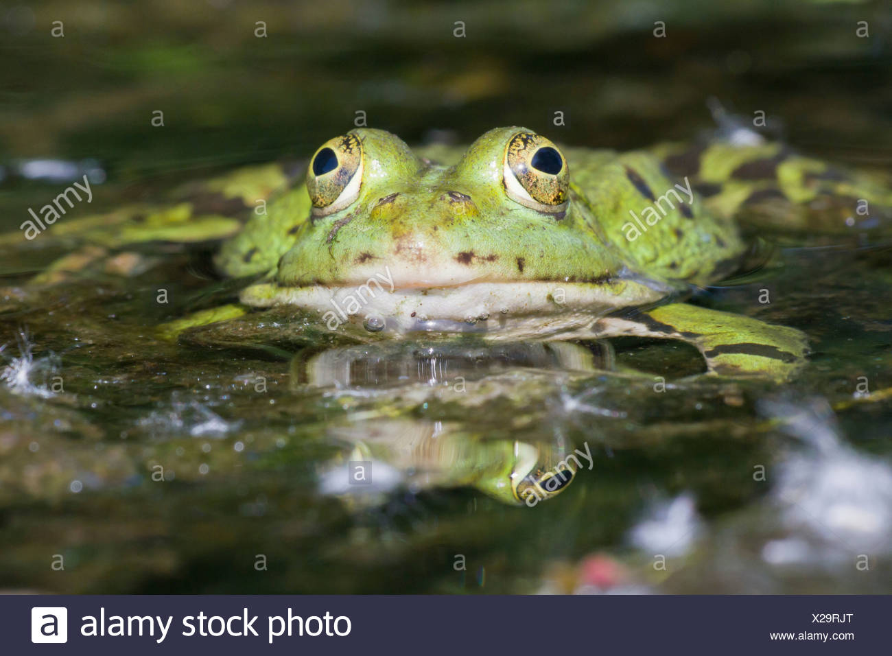 Edible Frog (Pelophylax kl. Esculentus), North Hesse, Hesse, Germany - Stock Image