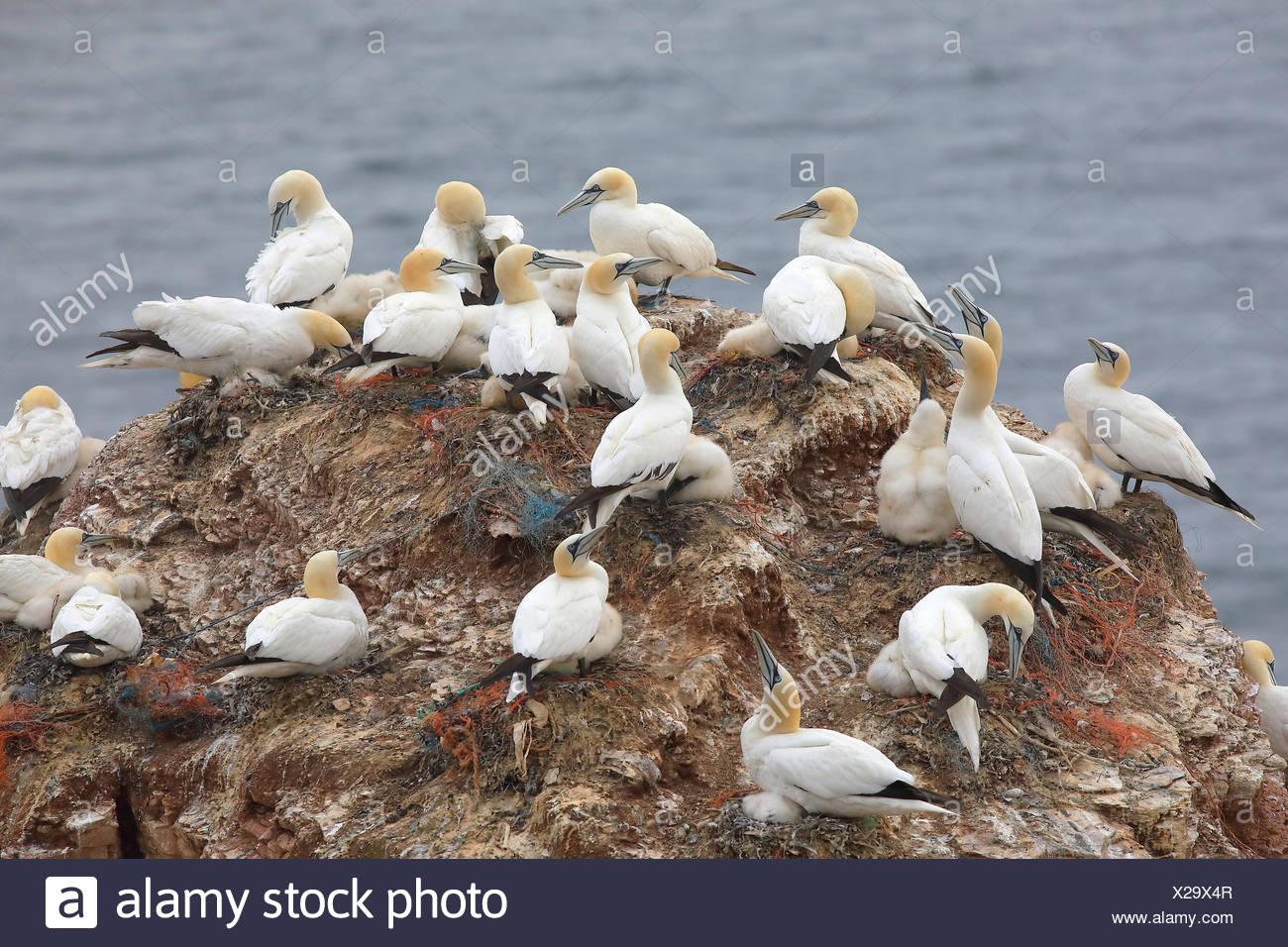 Northern gannets (Morus bassanus), breeding colony on sandstone rock, Heligoland, North Sea, Germany - Stock Image