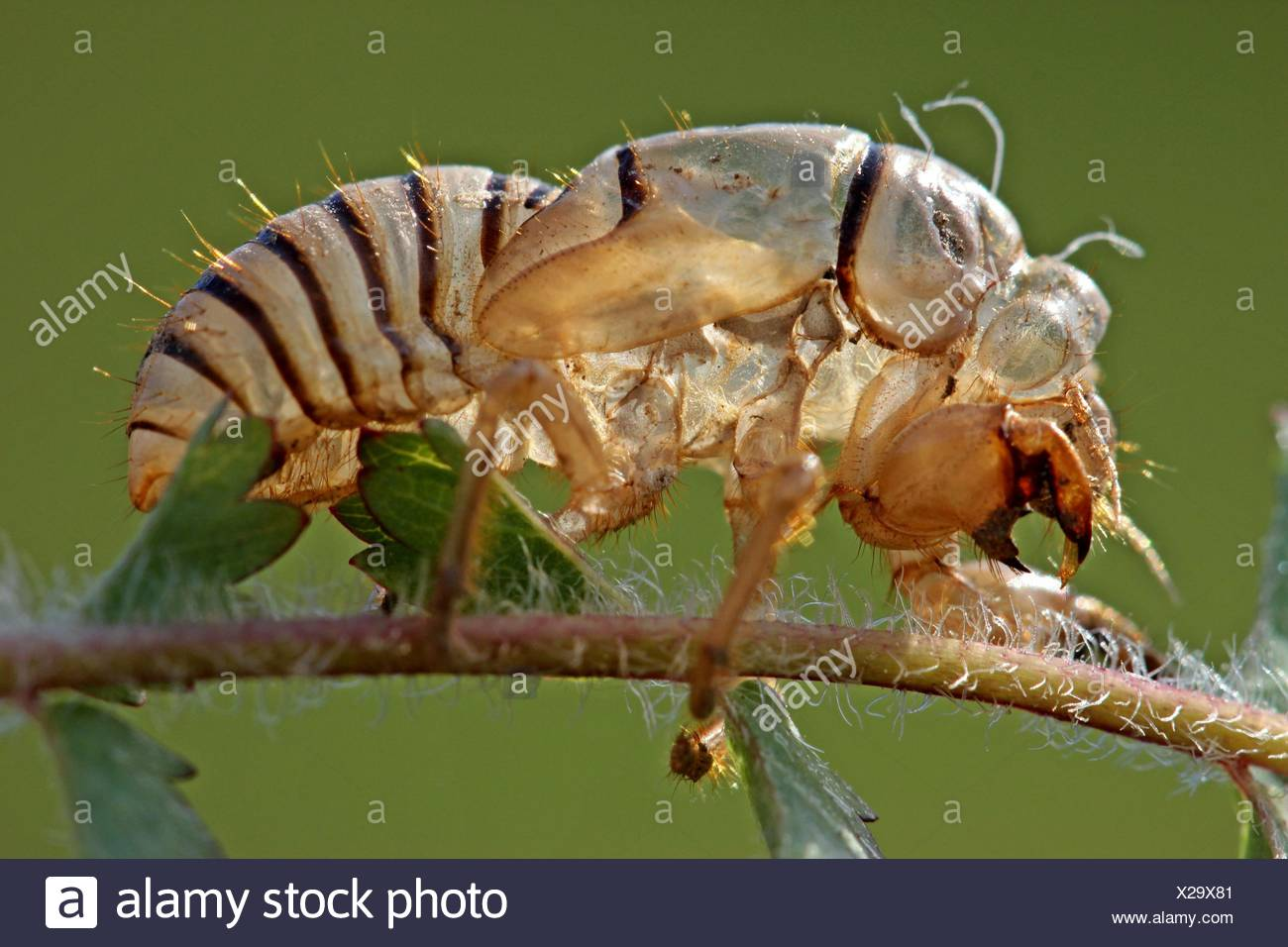 cicadetta stock photos  u0026 cicadetta stock images