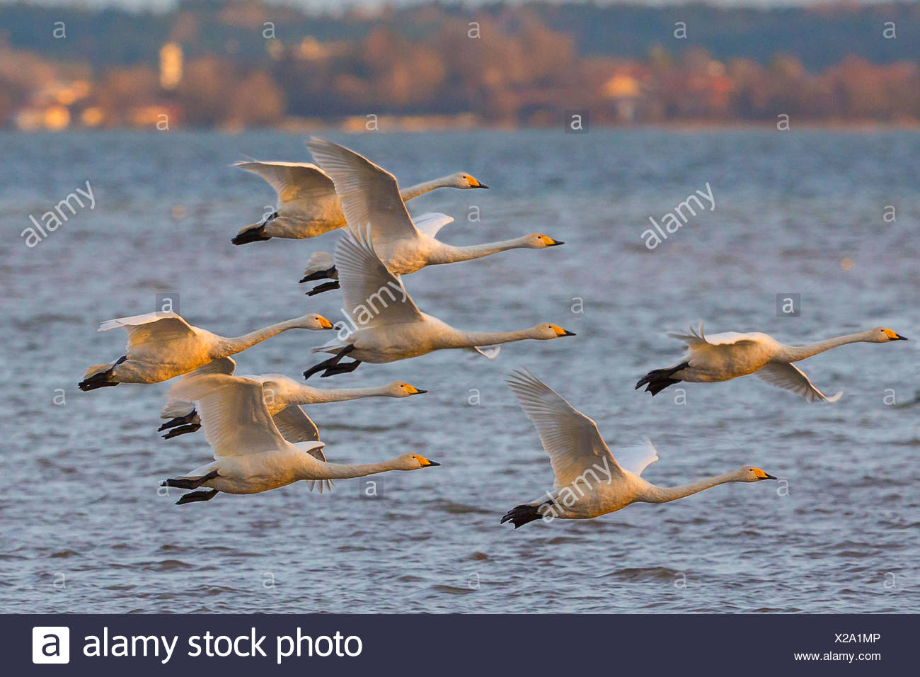 whooper swan (Cygnus cygnus), troop approach for a landing in the evening light, Germany, Bavaria, Lake Chiemsee - Stock Image