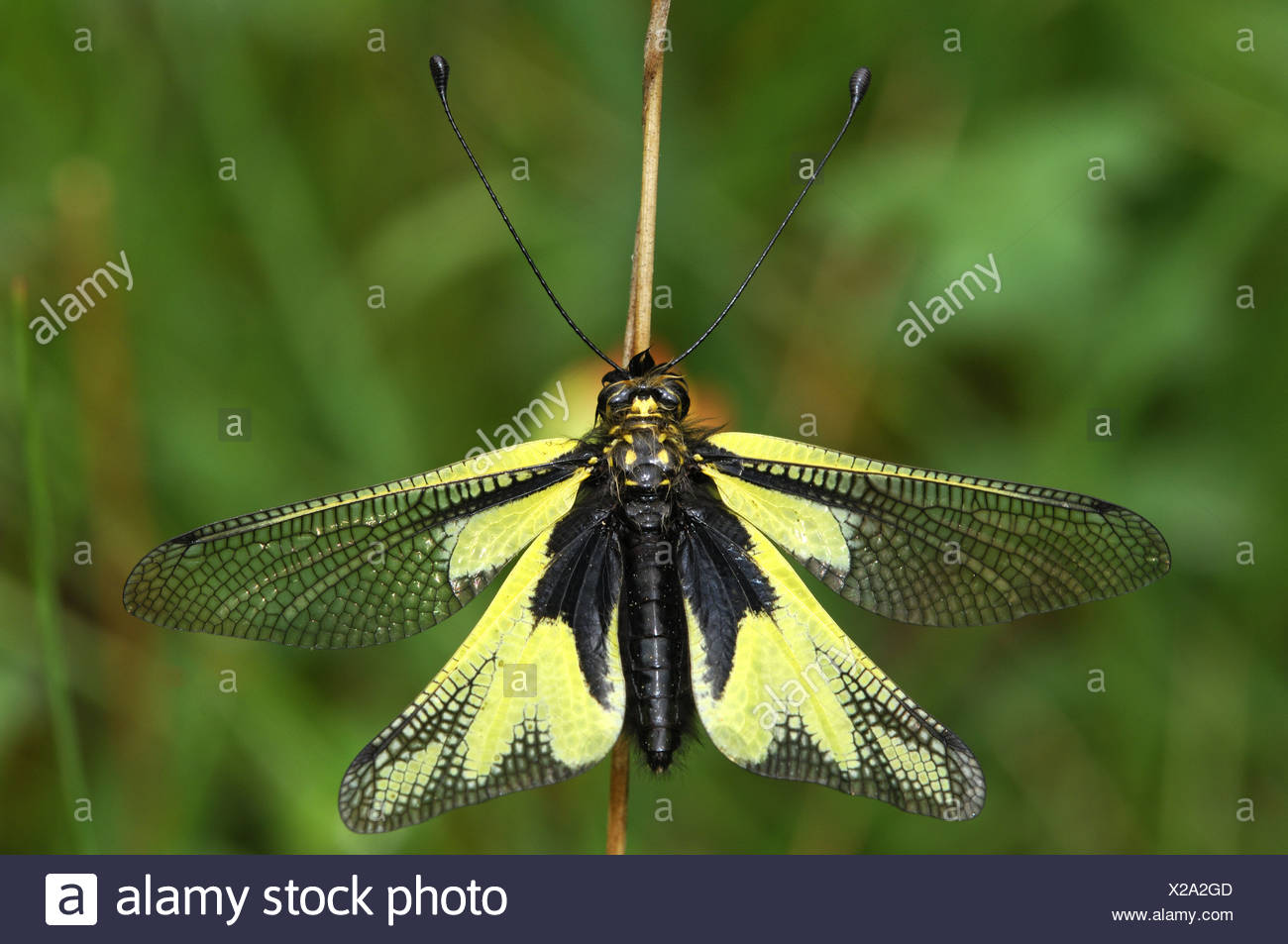 European Owlfly - Stock Image