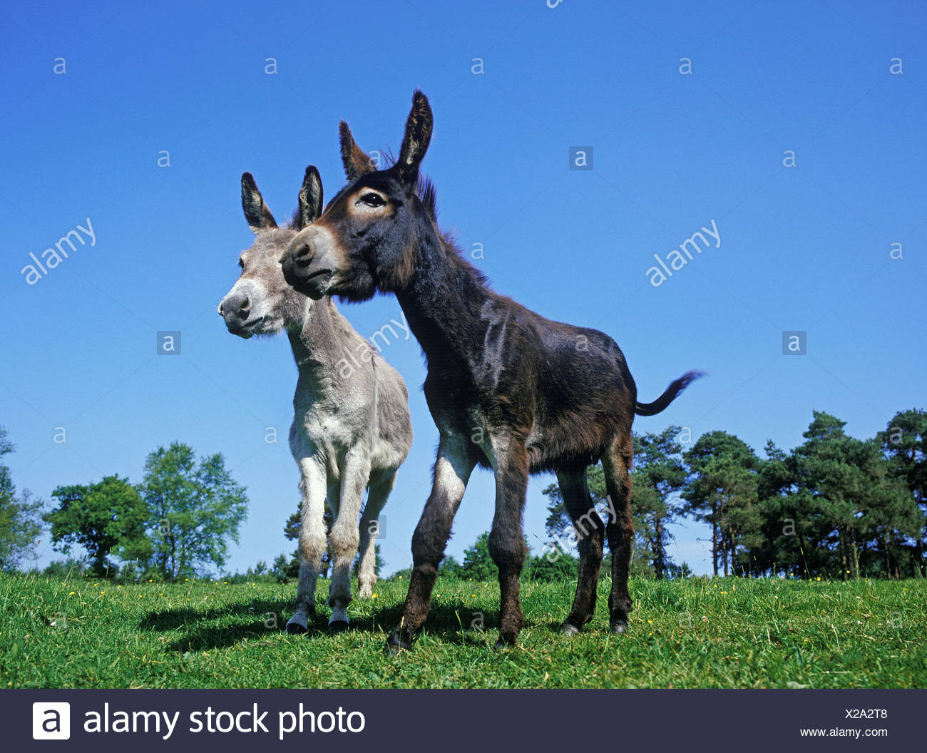 French grey donkey and house donkey,meadow, Stock Photo