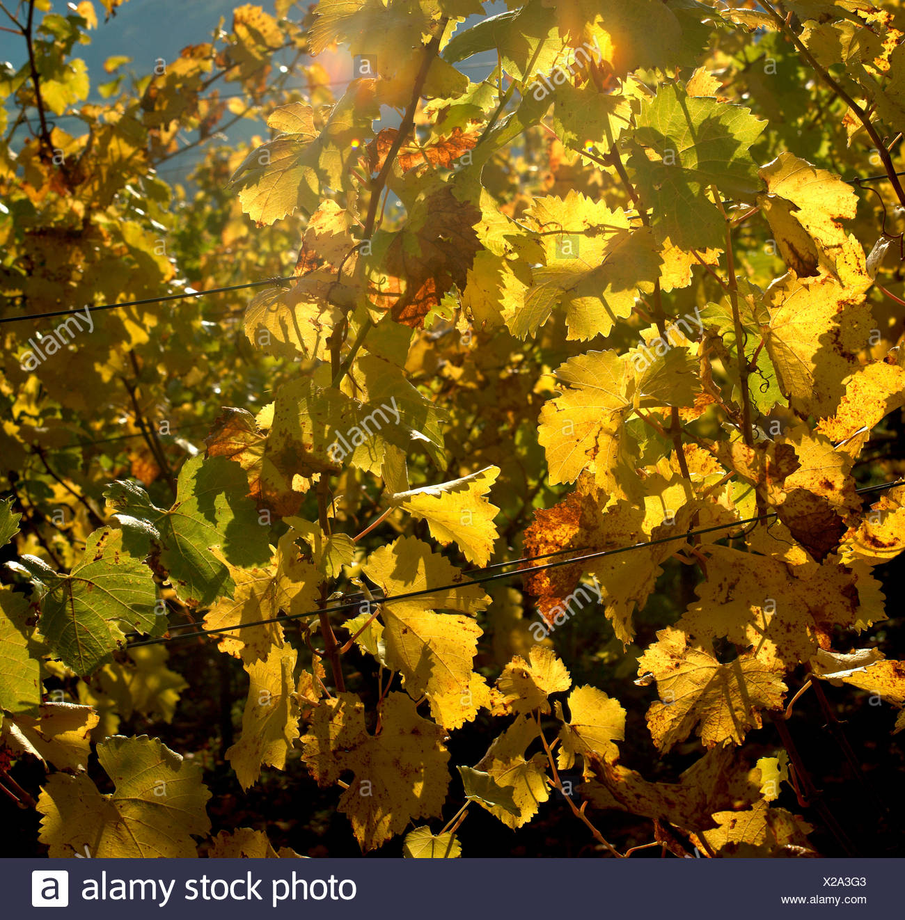 Vine leaves in back light Stock Photo