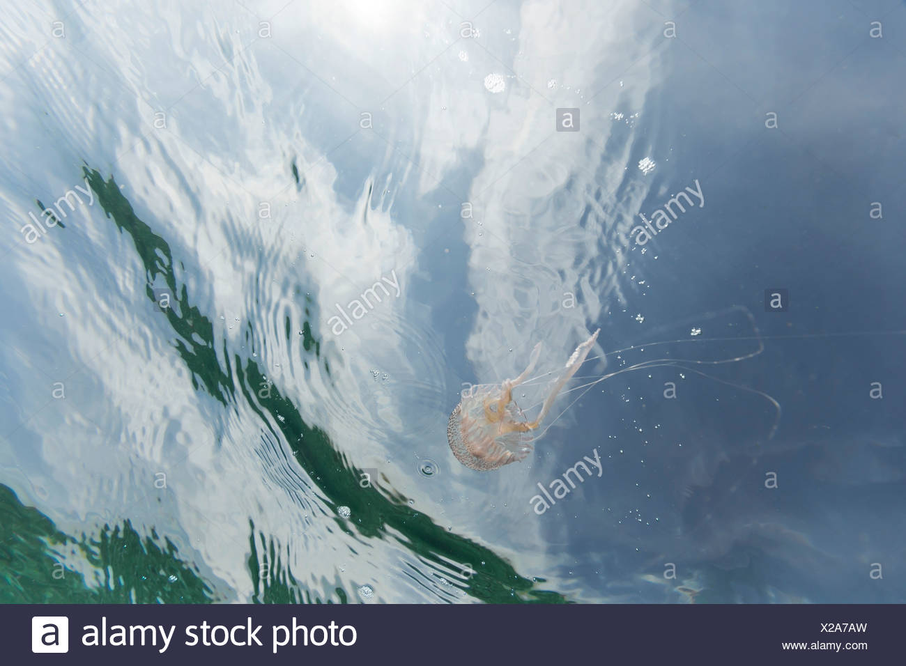 Spain, Mallorca, Mediterranean, mauve stinger - Stock Image