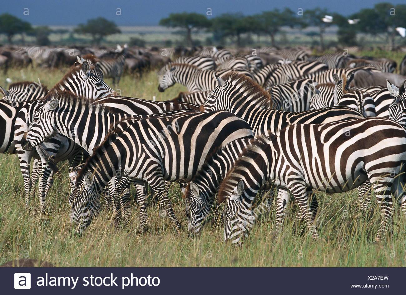 Zebras, Serengeti NP Tansania - Stock Image