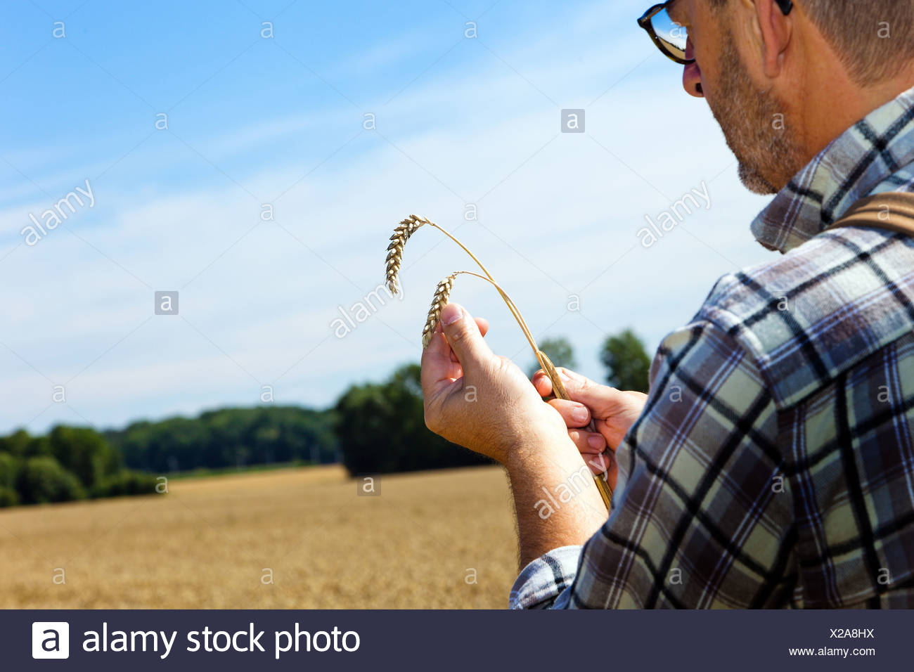 bread wheat, cultivated wheat (Triticum aestivum), farmer holding two wheat ears in the hands over a mature field checking the quality, Germany - Stock Image