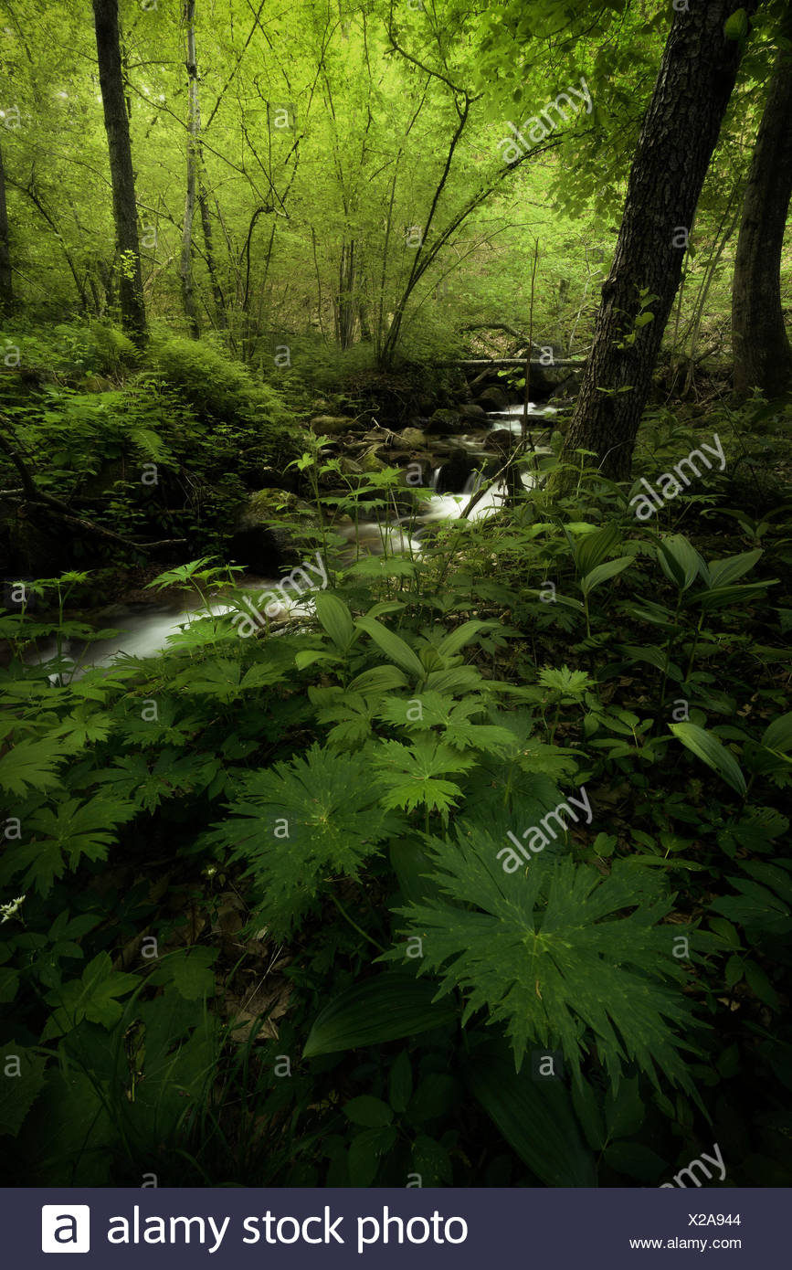 Blooming of wild plants in the forest, Canton Ticino, Switzerland - Stock Image