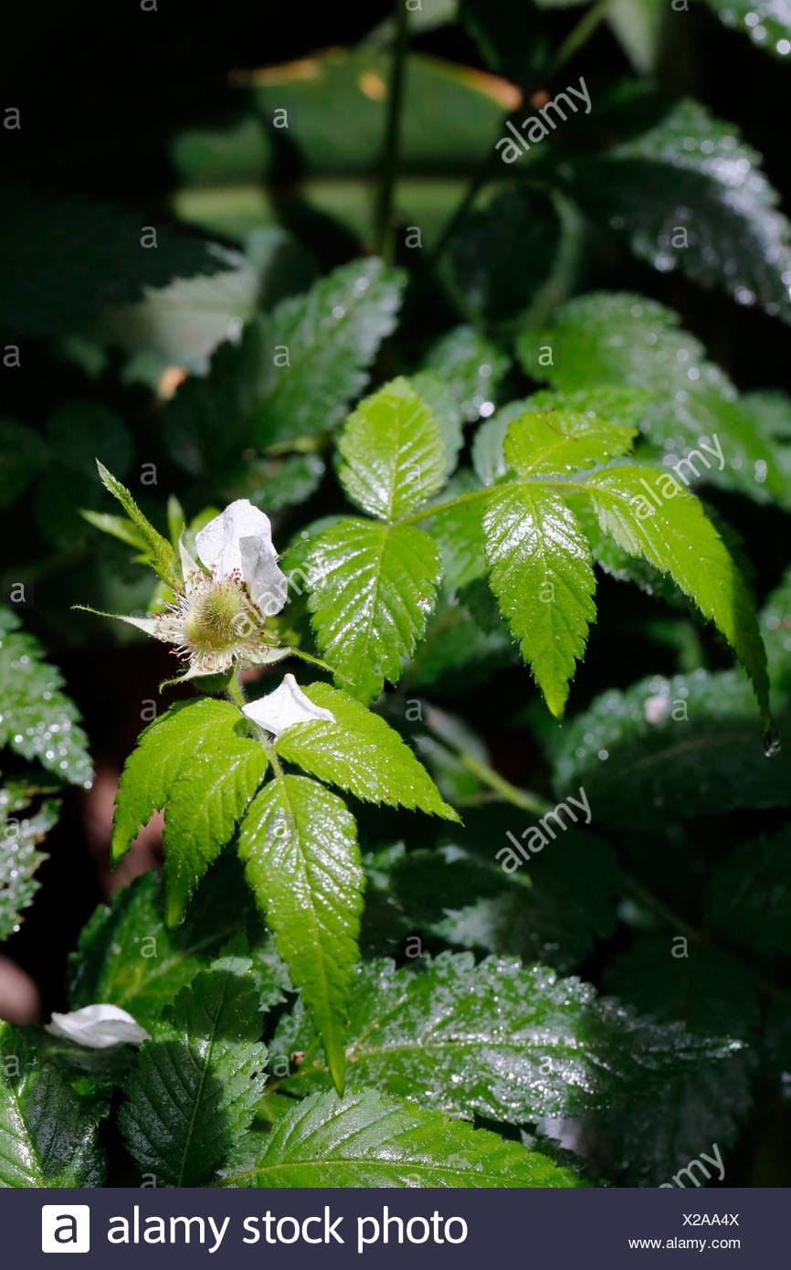 Armenian Blackberry or Himalayan Blackberry (Rubus discolor, Rubus armeniacus), invasive species, Big Island, Hawaii, USA - Stock Image