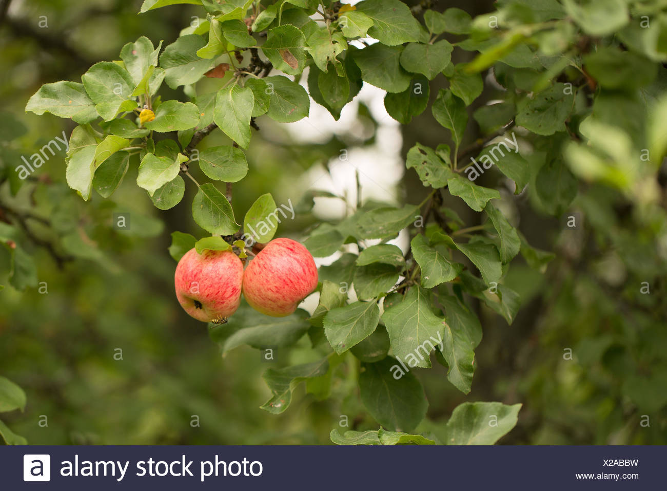 2 apples,2 objects,4-season autumn,agriculture,apple tree,apple tree branch,autumn,bright,close-up apples,closeup,colorful,delicious,dessert,diet,food,four season,fresh,freshness,fruit,green,health,healthy,juicy,leaf,leaves,light,natural,nature,nutrition, - Stock Image