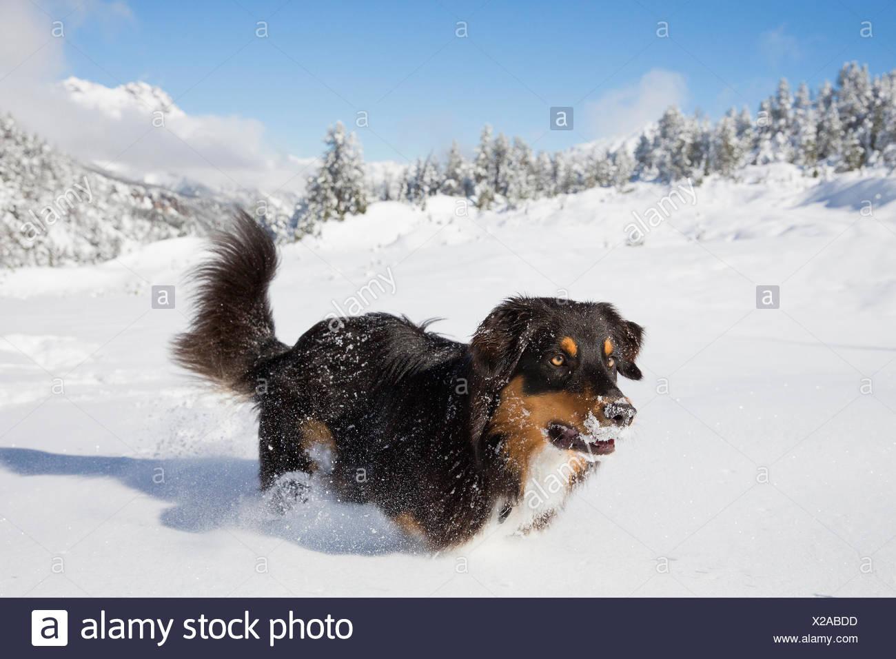 Australian Shepherd Juvenile running deep snow South Tyrol Italy - Stock Image