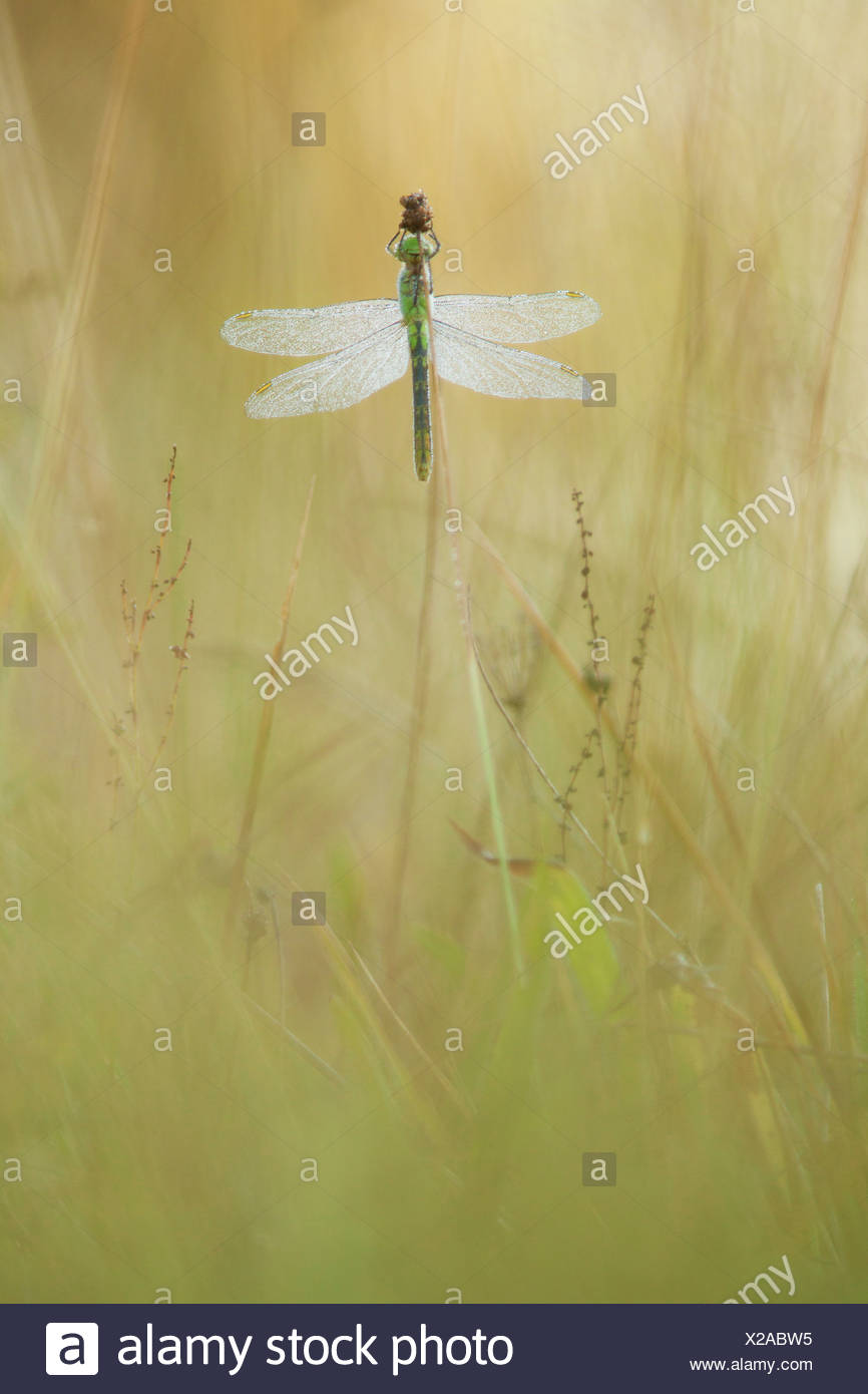 A Widow Skimmer dragonfly clings to a grass head, Oregon, USA (Libellula luctuosa) - Stock Image