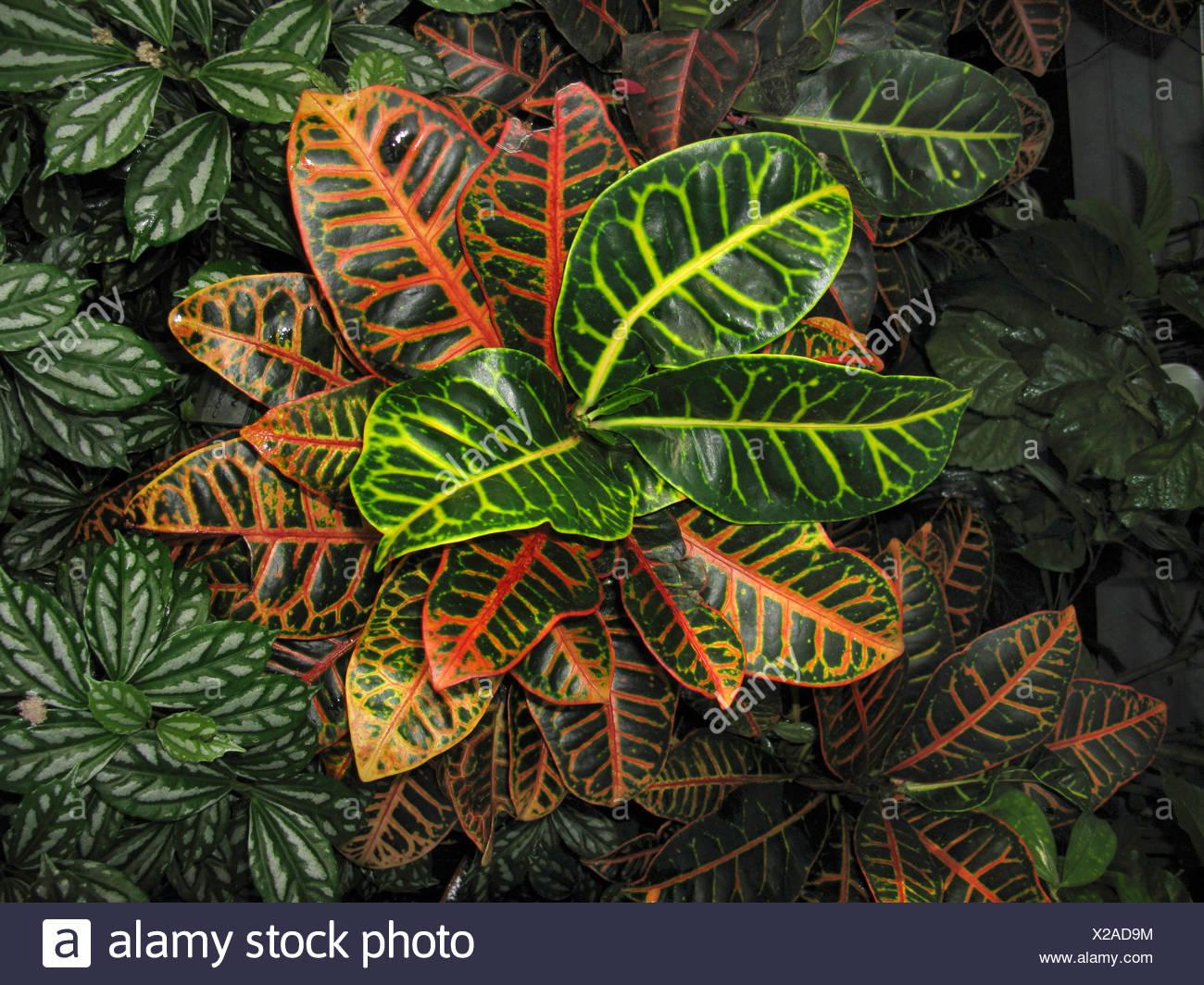 Croton (Codiaeum variegatum var. pictum), from above - Stock Image