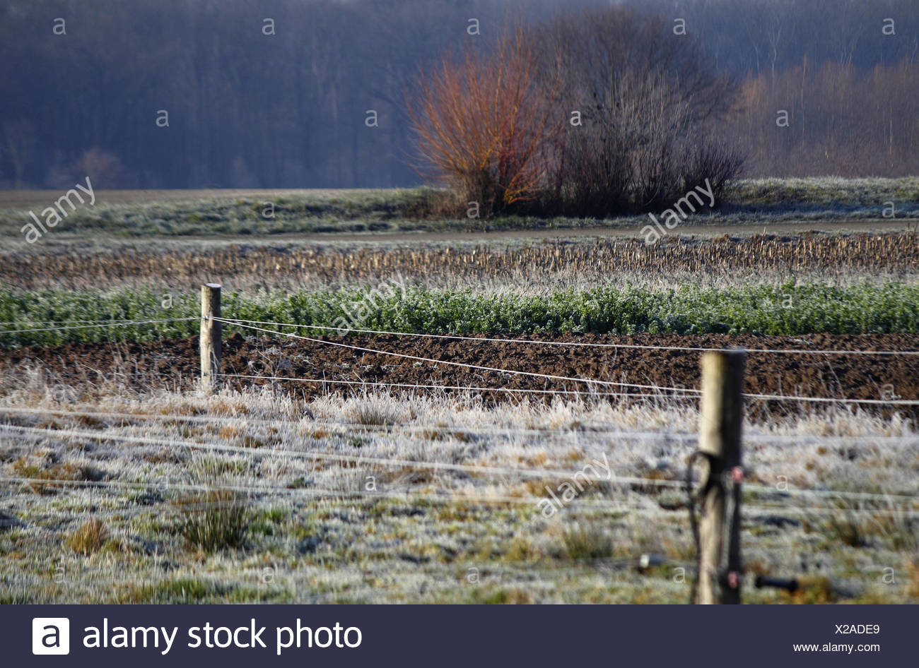 fields with fence and willow tree in hoarfrost, Germany, Baden-Wuerttemberg - Stock Image