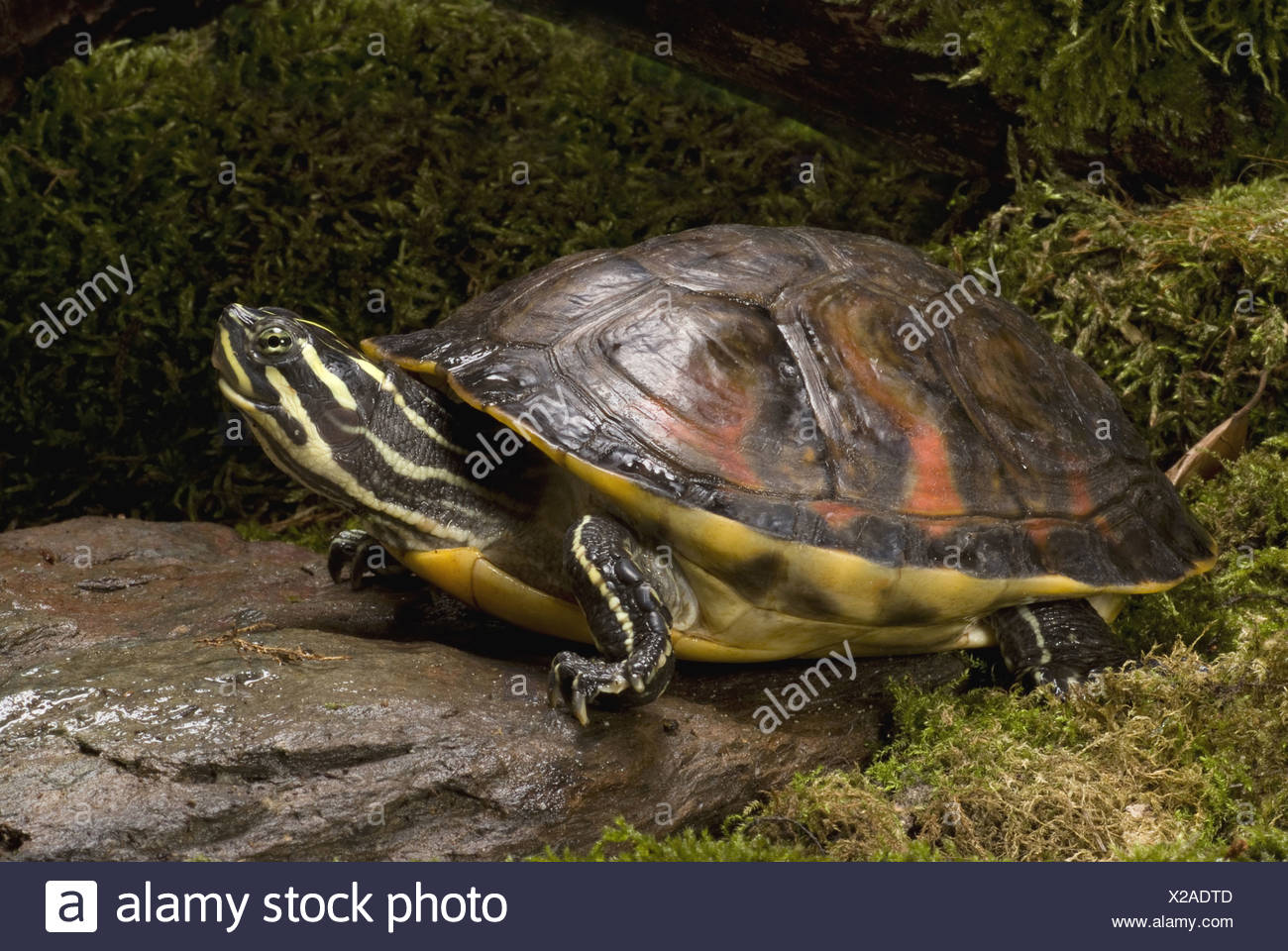 Florida Red-bellied Cooter, Pseudemys nelsoni Stock Photo