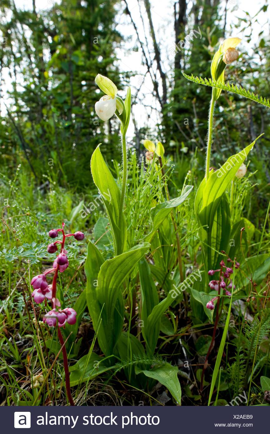 Alaska, Delta Junction. Wildflowers. - Stock Image