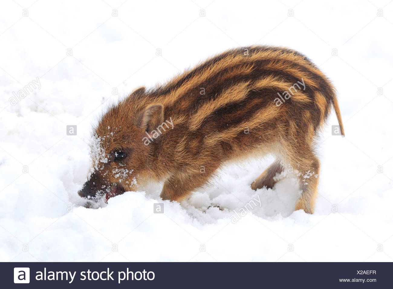Sus Scrofa Cut Out Stock Images & Pictures - Alamy