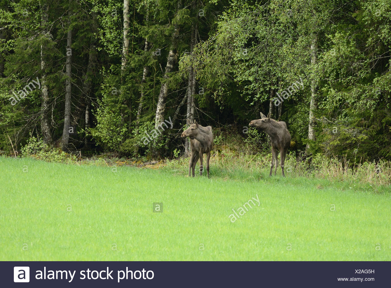 Moose, Alces alces, Cervidae, animal, mammal, Ognedal, Steinkier, Nord-Trondelag, Norway, Europe, - Stock Image