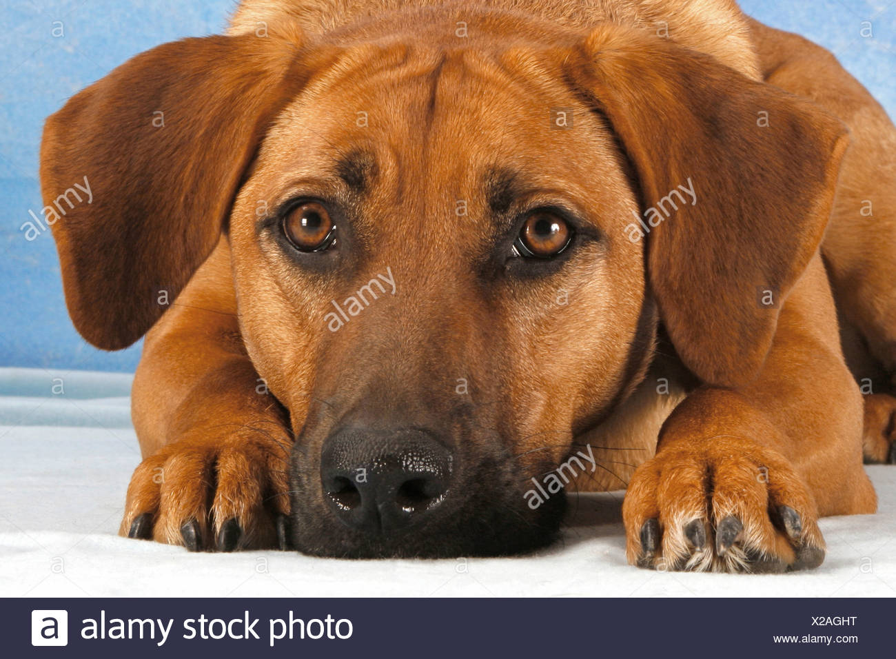 half breed dog - lying - Stock Image