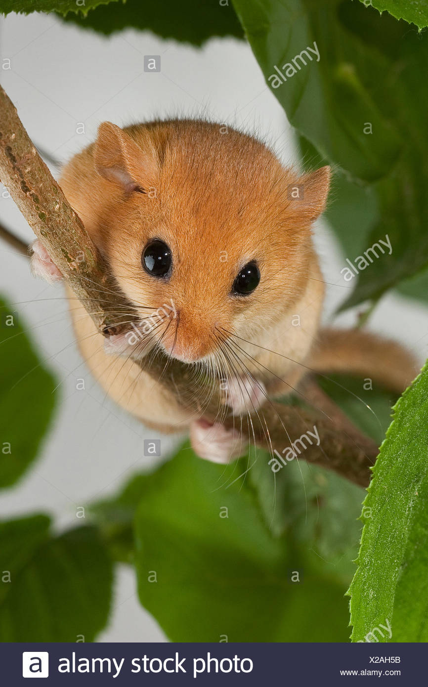 common dormouse, hazel dormouse (Muscardinus avellanarius), sitting on a twig, Germany - Stock Image