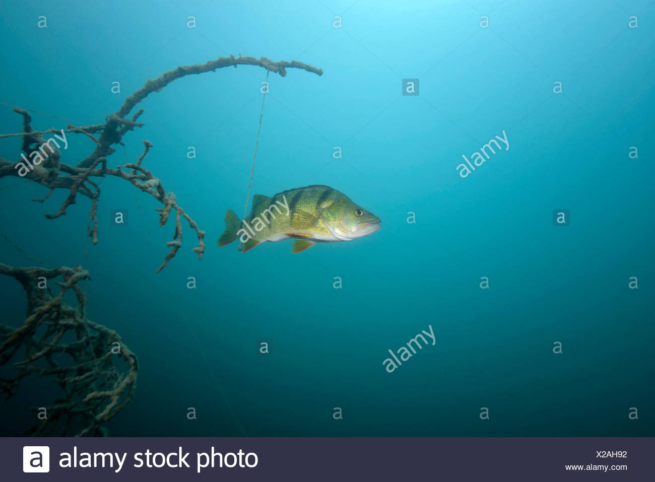Egli stock photos egli stock images alamy for Fisch barsch