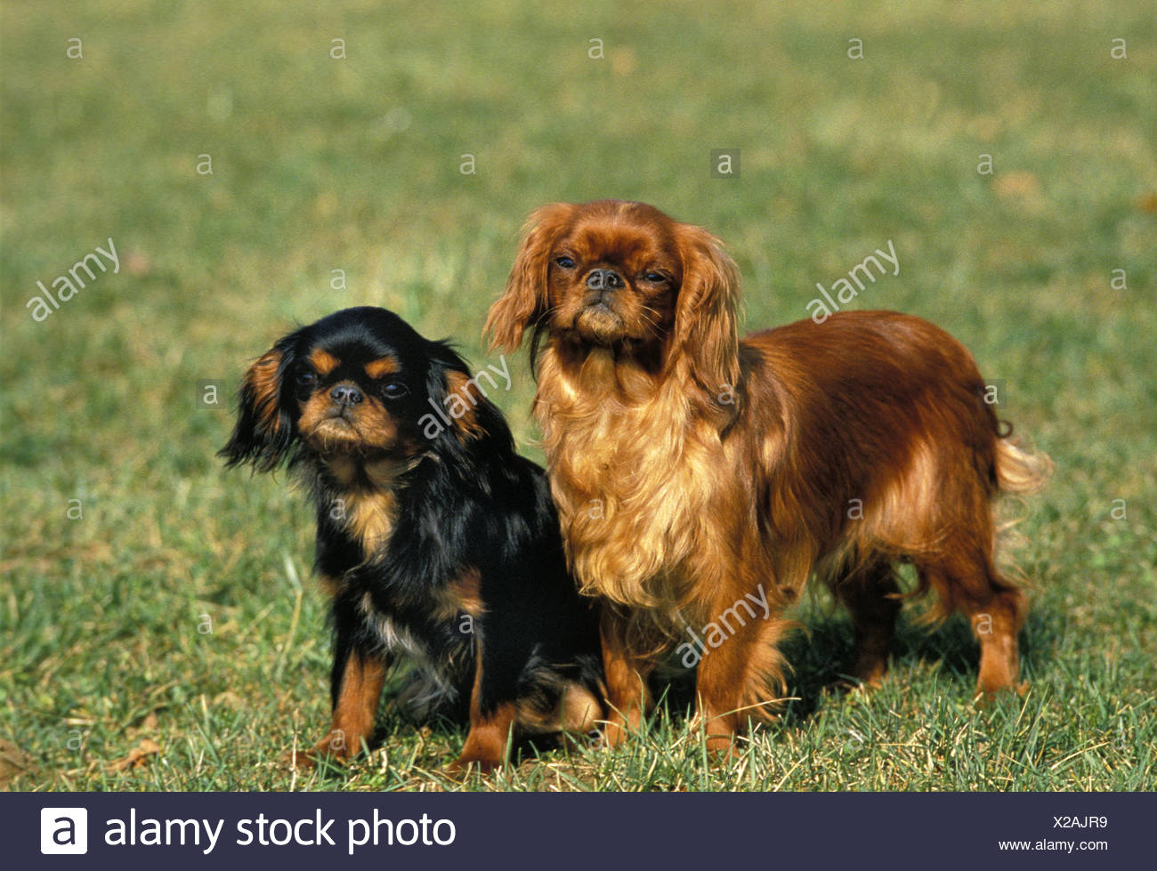 Cavalier King Charles Spaniel Standing Stock Photos   Cavalier King ... 36bf38f909