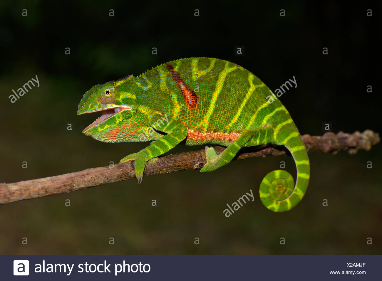 Female chameleon (Furcifer timoni), Montagne d'Ambre National Park, Northern Madagascar - Stock Image