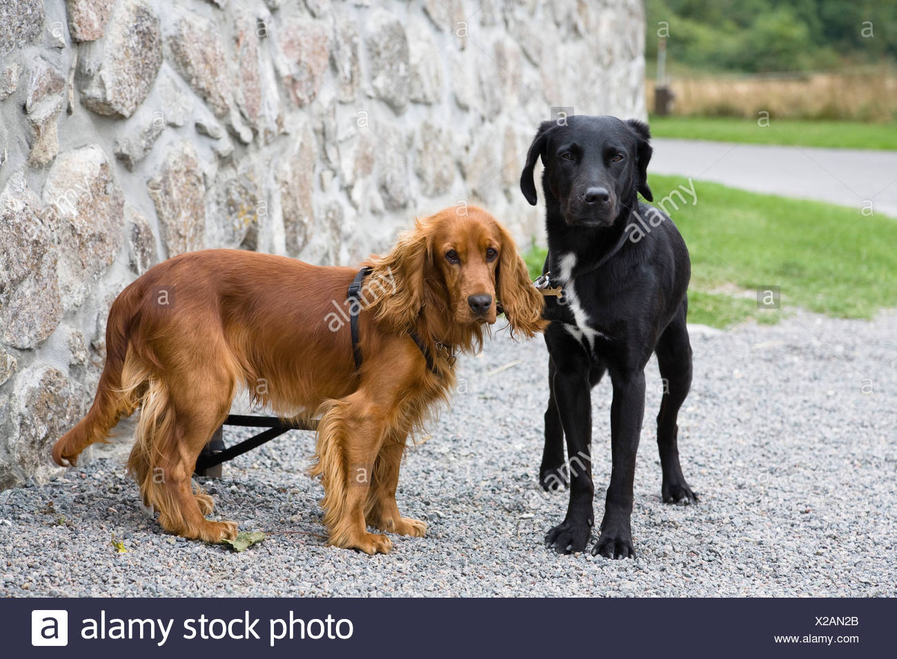 Pet dogs, black Labrador and Cocker Spaniel, Bornholm, Denmark - Stock Image