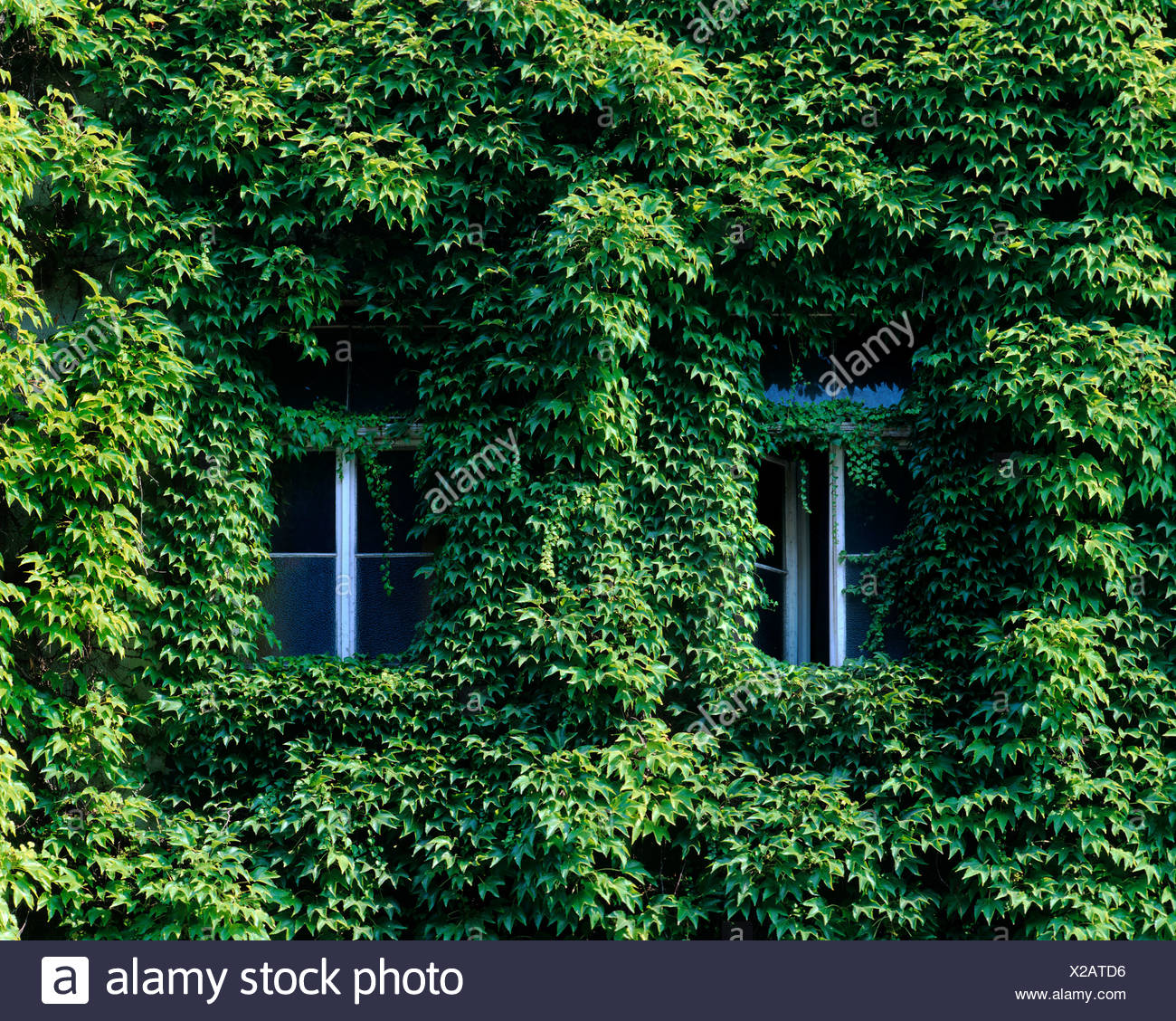 Delightful House Front Covered With Boston Ivy Or Japanese Creeper (Parthenocissus  Tricuspidata), Two Nearly
