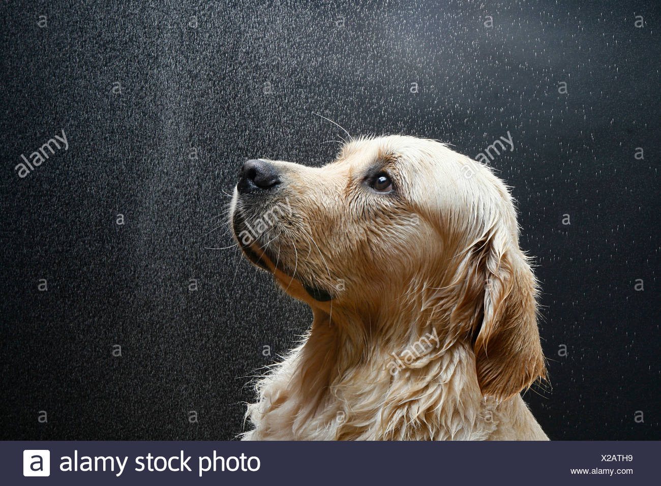 Golden Retriever - portrait - Stock Image