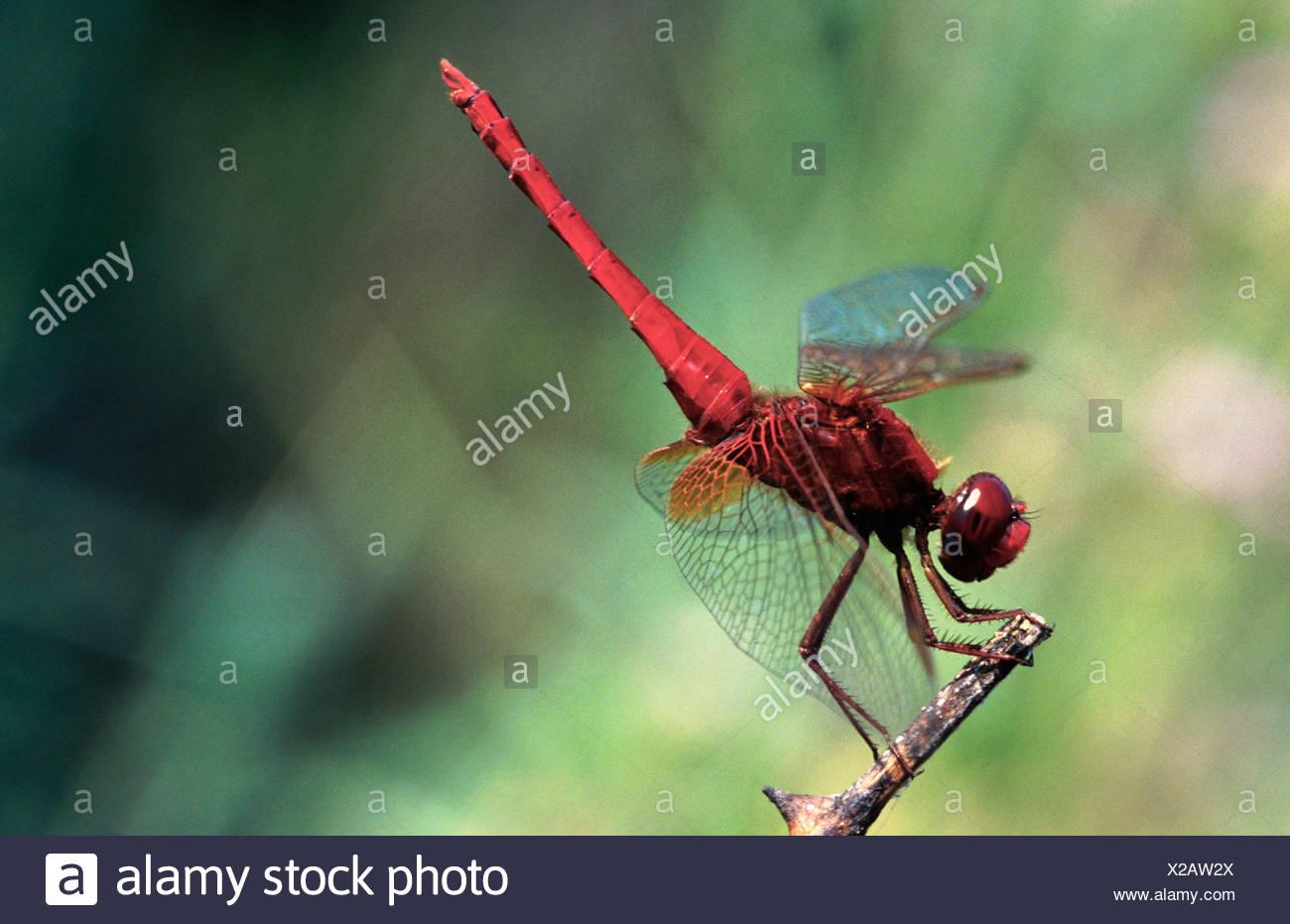 scarlet darter (Crocothemis erythraea), Greece Stock Photo