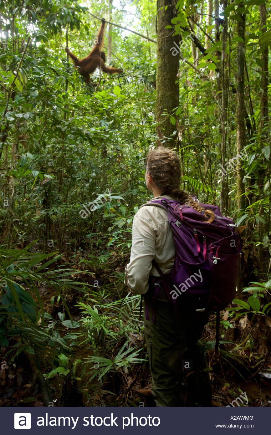 Orangutan researcher watching adult male Bornean orangutan, Pongo pygmaeus wurmbii, feeding low to the ground in freshwater swamp forest. - Stock Image