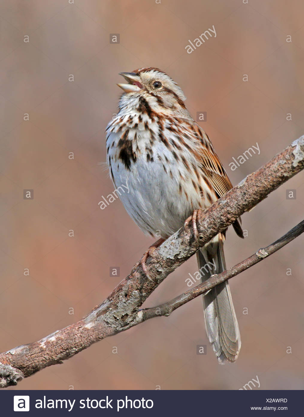 A Song Sparrow, Melospiza melodia, sings from a perch, in Saskatoon, Saskatchewan - Stock Image